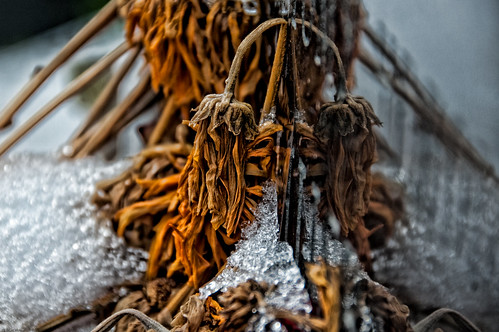 Withered Flowers In The Snow