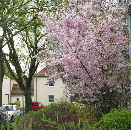 Kirschblüten 001