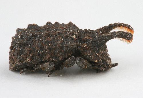Bolitotherus cornutus