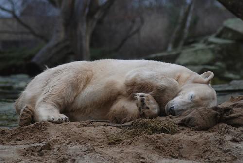 Ein müder Eisbär Knut am Morgen