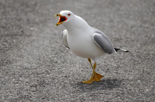 Ring-billed Gull yelling