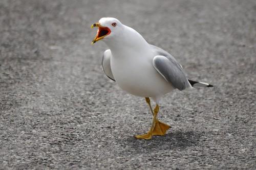 Ring-billed Gull yelling