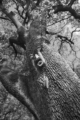 St Charles Tree