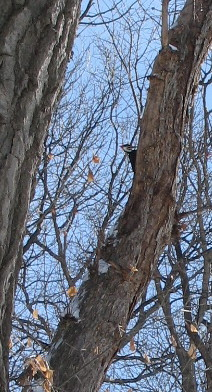 Pileated Woodpecker, Minneapolis, Minnesota, February 2009, photo © 2009 by QuoinMonkey. All rights reserved.