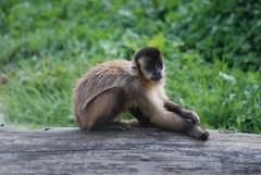 Gehaubter Kapuziner im Parc Zoologique de La Bourbansais