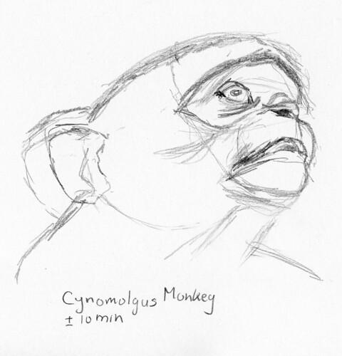 Cynomolgus Monkey 1-b