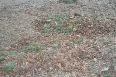 Pinecone Pile 1