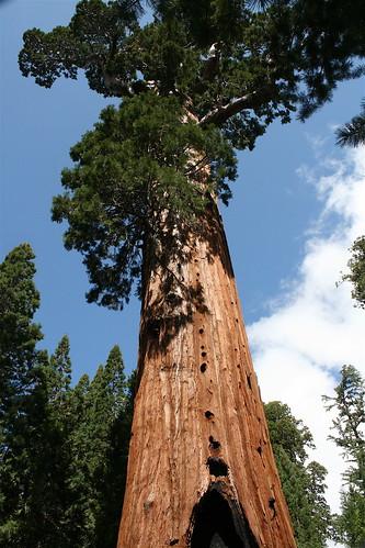 General Grant Tree