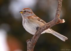 Bruant Hudsonien / Américan Tree Sparrow