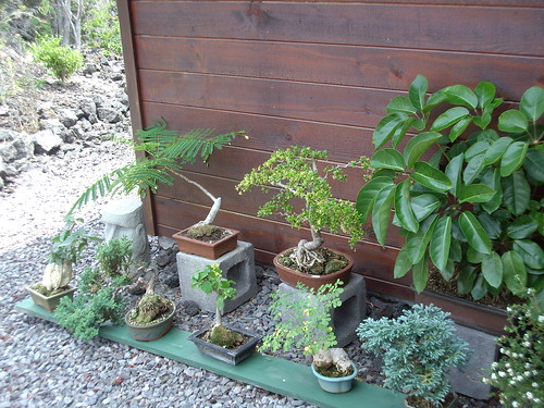 MORE OF CAROLE'S BONSAI