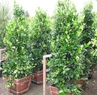Best Tall Privacy Hedge Plants | Foto Bugil Bokep 2017
