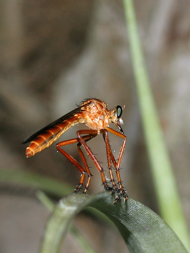 Diogmites (?) Robber Fly