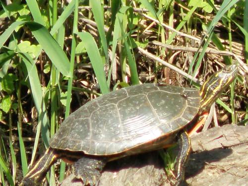 Turtle in Trempealeau Bay