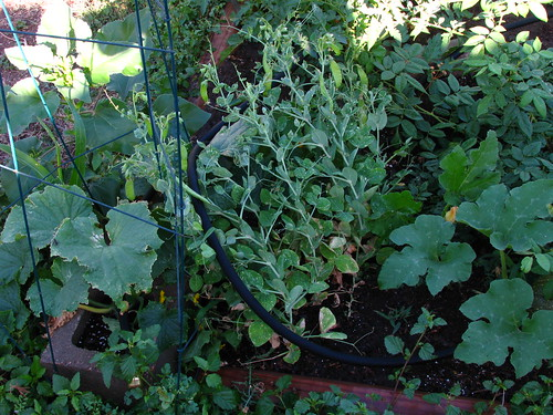 Cucumbers, snow peas, pumpkin, roses and tomatoes