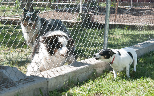 Dogs Fencing 2