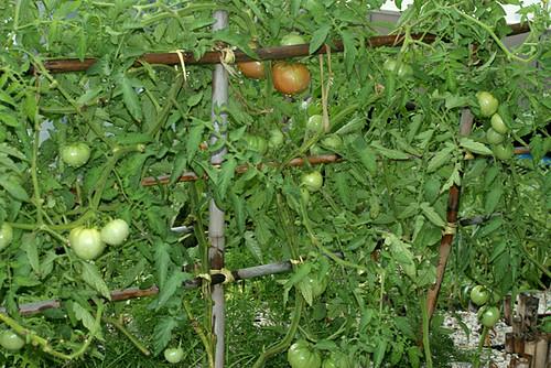 Tomato-Fest