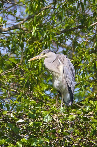 Coate Water Herons by Mark Philpott, on Flickr