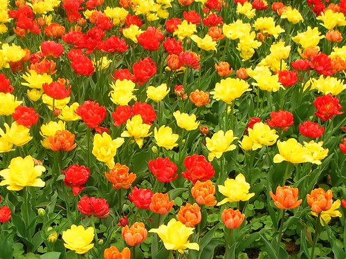 Hot Reds, Oranges and Yellow tulips