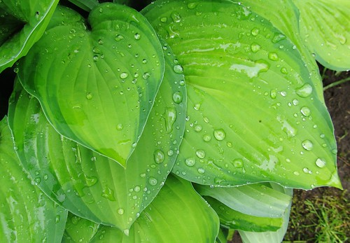 Raindrops on hosta leaves