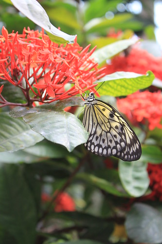 Seattle - Pacific Science Center - Yellow Butterfly on Red Flower