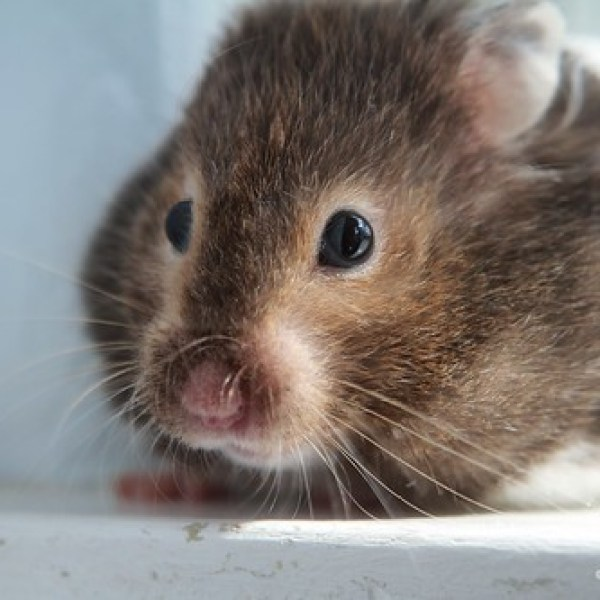 How to Torture Rodents: Lessons Learned from the Class Hamster