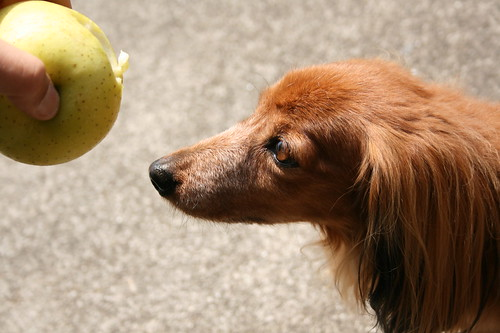 a long-haired standard dachshund is tempted by and apple.