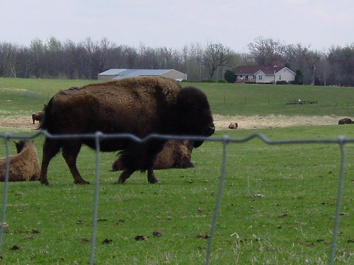 Bison 1 - Bison has seen us
