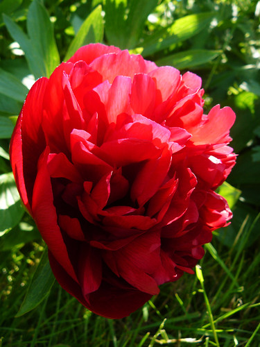 First peony in bloom
