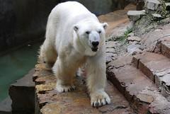 Eisbär Jasper im Zoo Kaunas