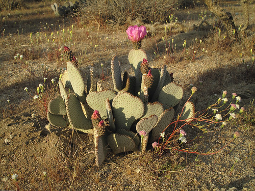 Beavertail Cactus by you.