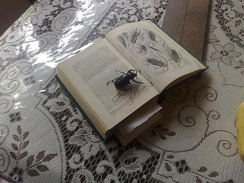 beagle-beetle