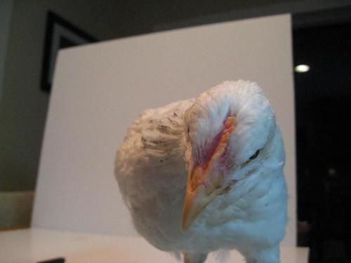 Poultry headbutt