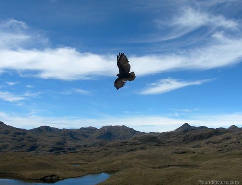 Ecuador - Parque Nacional Cajas - Raptor