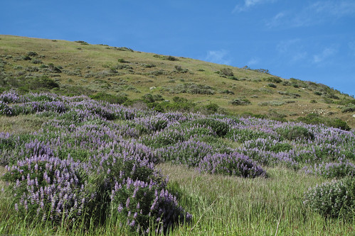 Lupine hills by you.