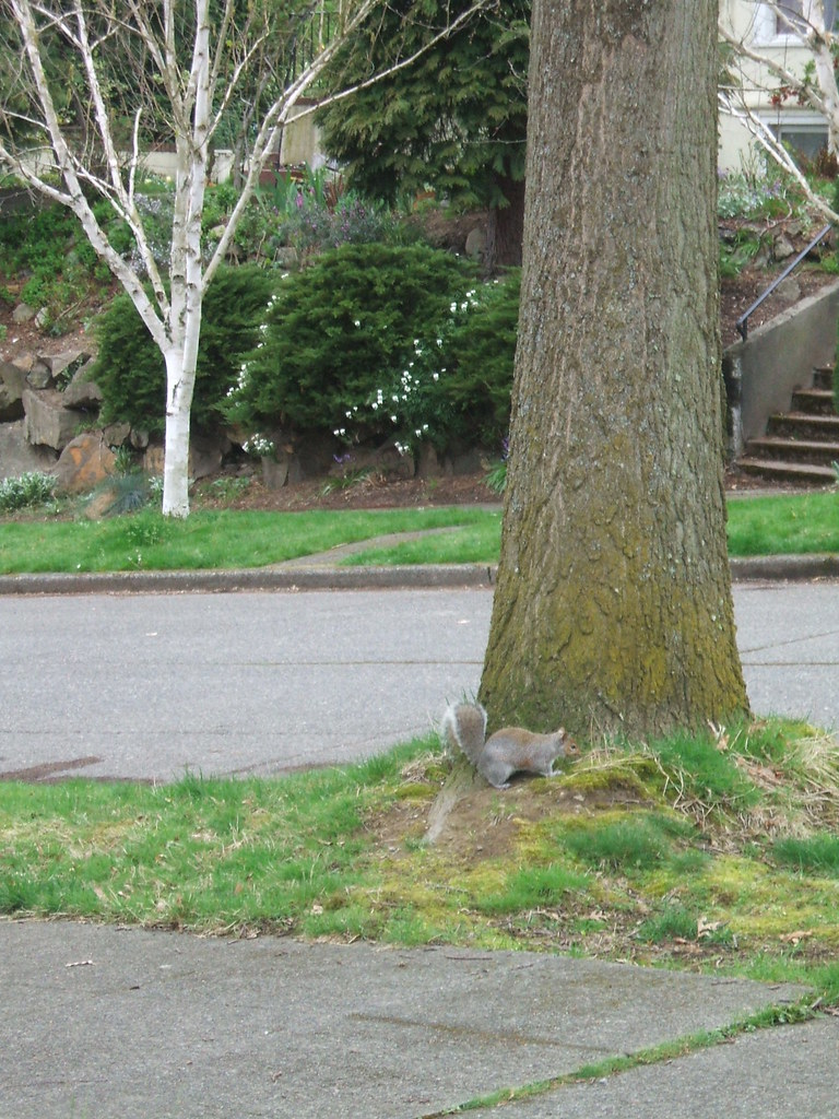 Squirrel looking for acorns in spring