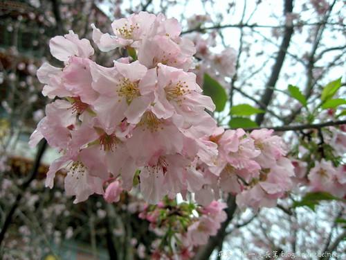 2009年3月淡水無極天元宮賞櫻_1668