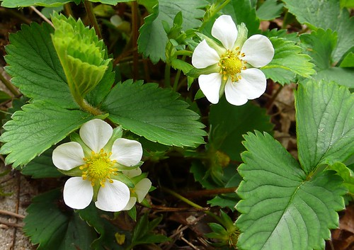 Strawberries, 5/9/09