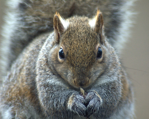 Eastern Gray Squirrel by Marg MakeUpAnID