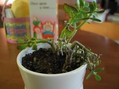 dead jade plant