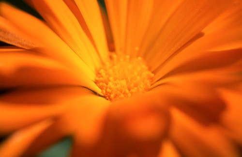 Marigold. (Fuji Velvia 50. Nikon F100. Epson V500.)