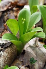 JCC-Yellow Clintonia2