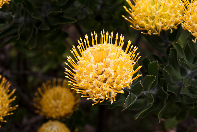 Protea Flowers at Kula Tropical Flower Gardens, Maui