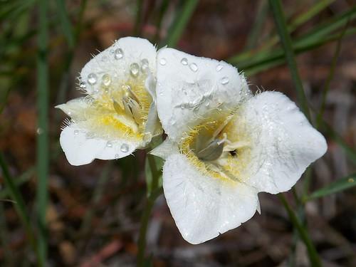 Tolmie Tulip