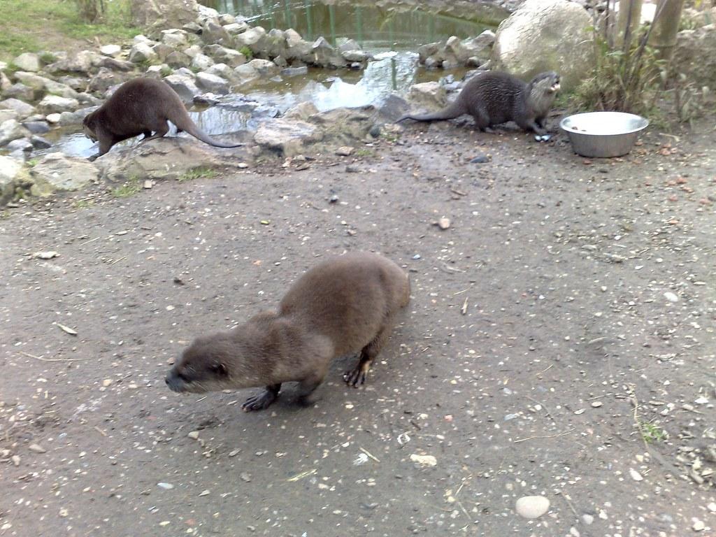 Otter - Sas