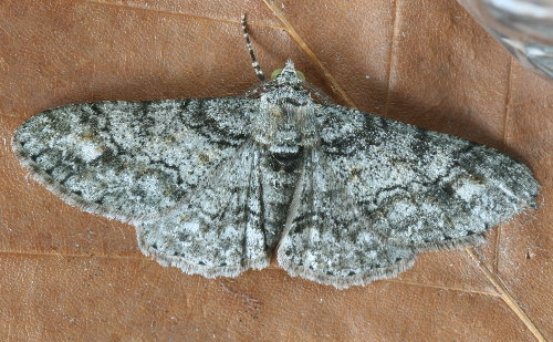 6594 - Cleora sublunaria - Double-lined Gray