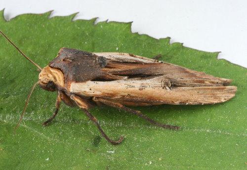 9873 - Xylena nupera - American Swordgrass (2)