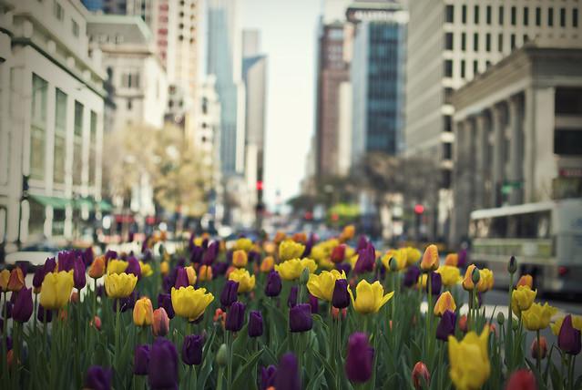Michigan Ave Tulips