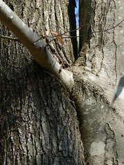 Merchant's Millpond State Park - Intertwined Tree - Eating Beech Branch