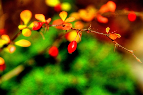 Berries Thorns and Bokeh