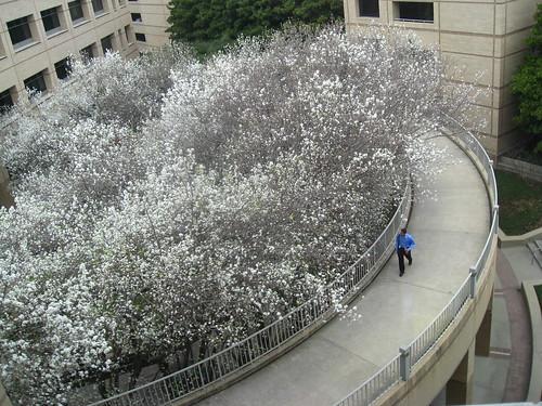 Bradford Pear Trees in Bloom
